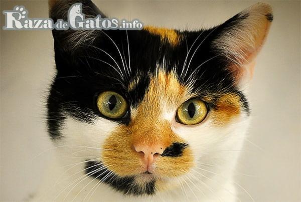 Imagen de Gato mestizo tricolor . Para raza de gatos comunes dumesticos.