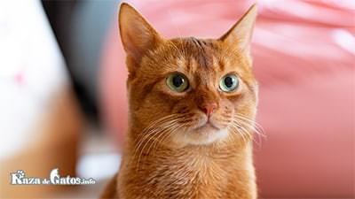 Curiosidades sobre los gatos naranjas – Gatos anaranjados