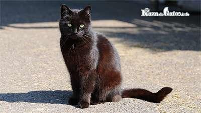 Gatos negros ¿Traen mala suerte? Mitos y Creencias.