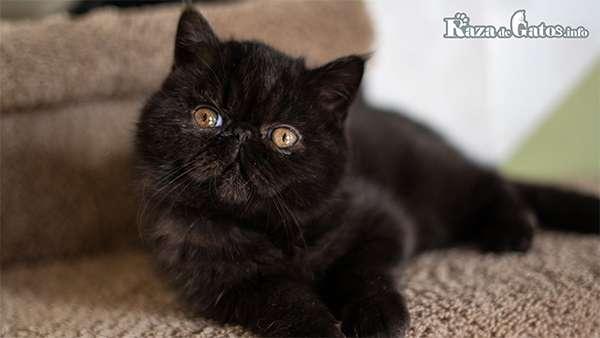 Foto de un gato negro Exótico.