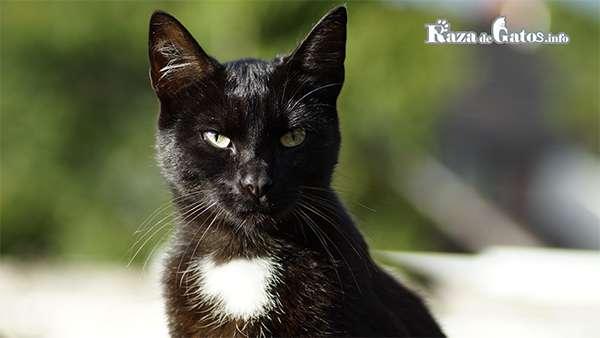 Un gato negro con una mancha en el pecho. ¿Los gatos negros traen mala suerte?