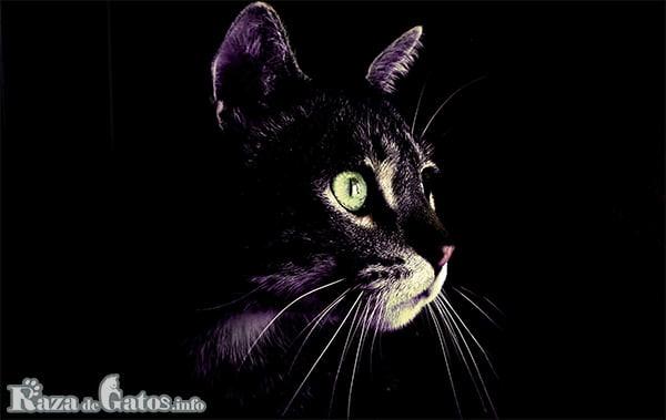 Foto de un gato en la oscuridad de la noche. ¿Cual es la funcion de los bigotes de un gato?