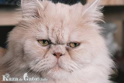 Foto del gato Persa.