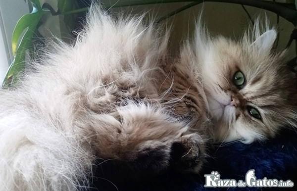 fotografia de la Raza de gato Persa. Gatos mas cariñosos del mundo
