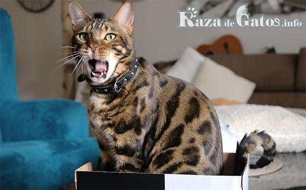 Gato de raza dentro de una caja bostezando.  Bengalí. Para los beneficios de tener gatos.