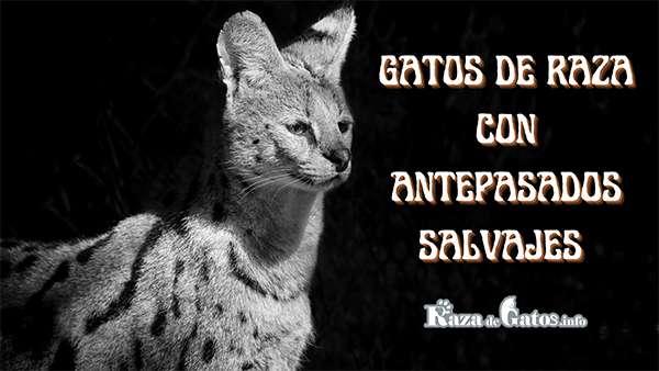 Gatos de raza con antepasados Salvajes - Foto del gato Serval