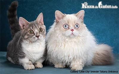 Imagen de razas de gatos enanos.