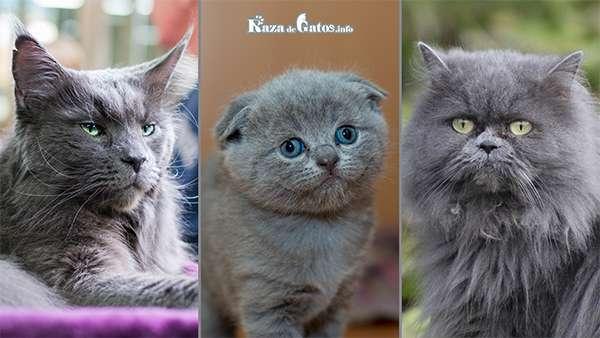 Gato gris – Razas y Genética