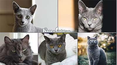 gato gris - Razas y Genética