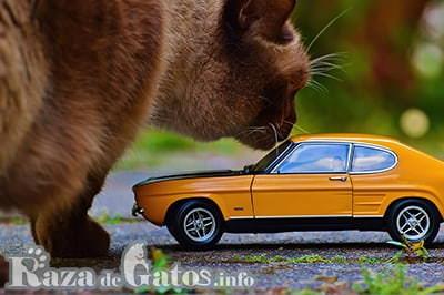 Imagen de gato gigante. Destacada para los 5 gatos más grandes del mundo.