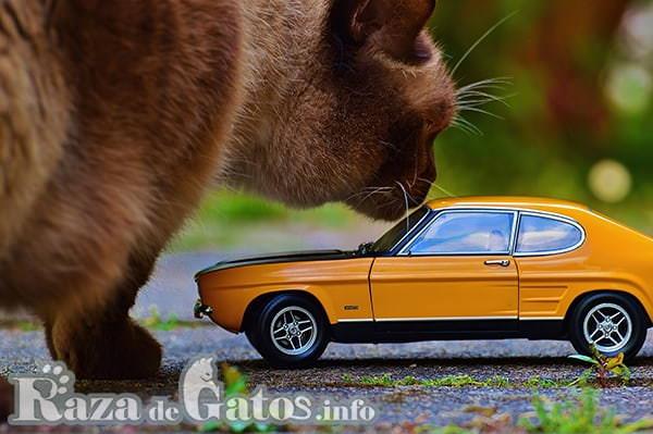 Foto de Gato Gigante junto automóvil de juguete . Las 5 razas de gatos más grandes del mundo.