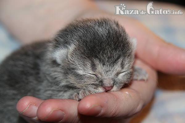 Foto de un Gatito bebe sobre una mano - Para la imágen destacada de los 5 gatos más pequeños del mundo.