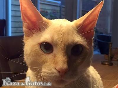 Foto de la cara del Gato German Rex, o gato Rex Alemán.