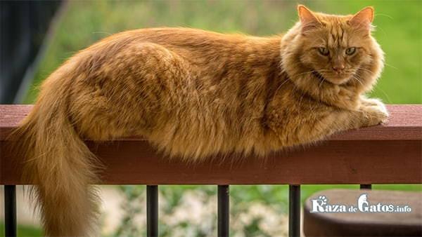 Imágen de un gran gato naranja. Gatos naranjas