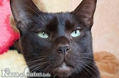 Foto de la cara del gato Habana brown