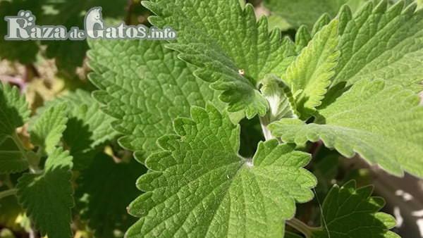 Imágen de la planta hierba gatera. También conocida como hierba gatuna. Para las curiosidades que no sabias de los michis.
