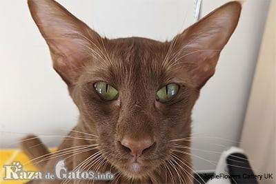 Foto de la cara del gato oriental de pelo largo, también llamado gato Javanés.
