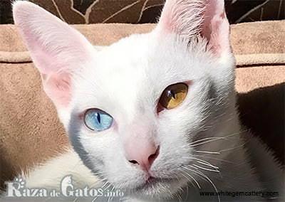 Foto de la cara del gato Khao Manee.