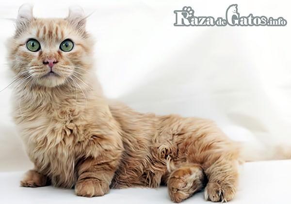 Foto del gato Kinkalow. Imágen de gatos de patas cortas.