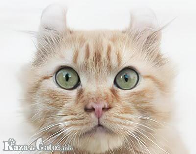 Gato Kinkalow foto de la cara