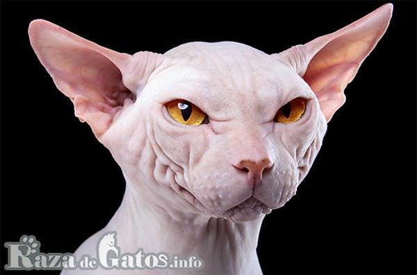 Imágen de la cara del gatito kohana.