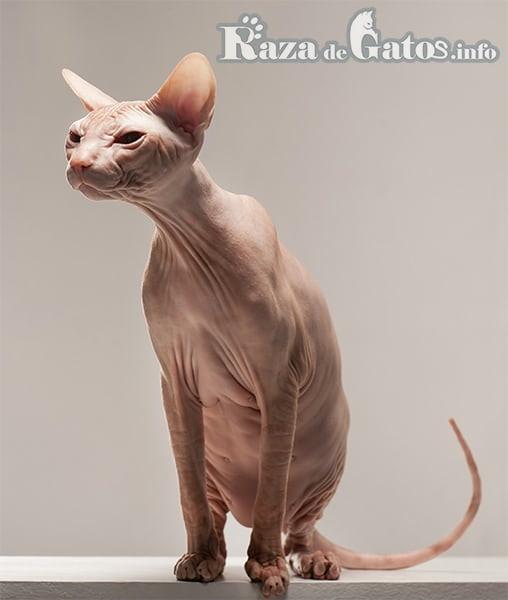 Foto del gato kohana de cuerpo completo.