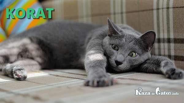 Gato Korat - Diferencias entre el gato Azul Ruso y el gato Korat