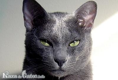 Foto de la Cara del gato korat
