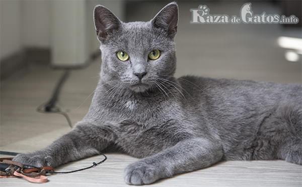 Raza de gato Korat. los 5 gatos mas pequeños del planeta.