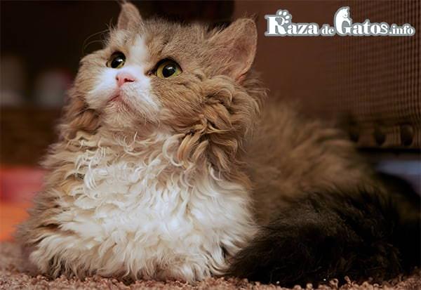 Foto del gato Lambkin. Gatos con pelo rizado. Gatitos de pelo ondulado.