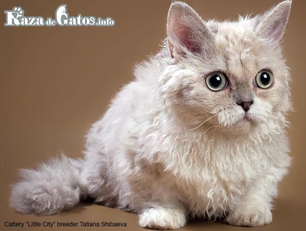 Imagen de la raza de gatos Lambkin. Fotografía para gatos enanos.