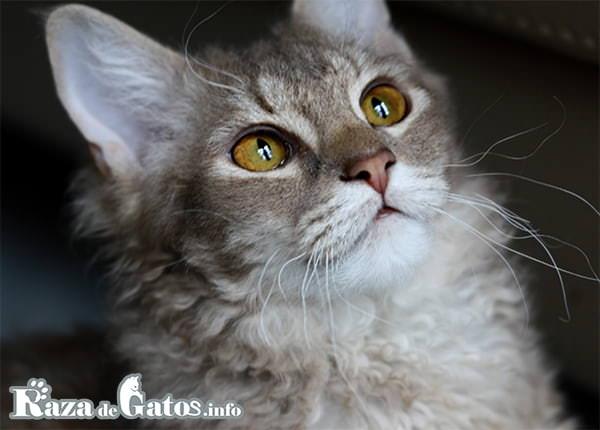 Foto del gato Laperm. Todos los gatos con pelaje rulado.
