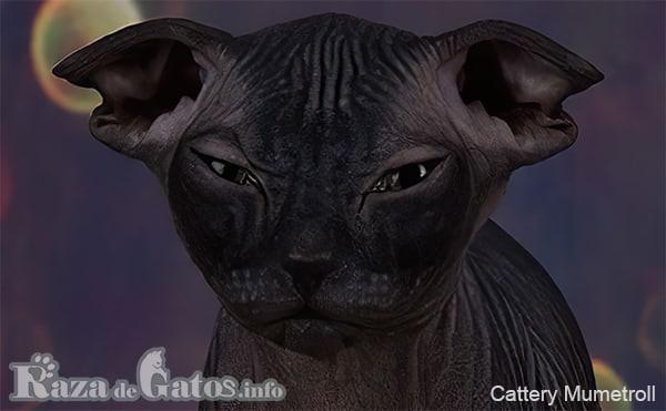 Foto de la cara del gato Levkoy Ucraniano.