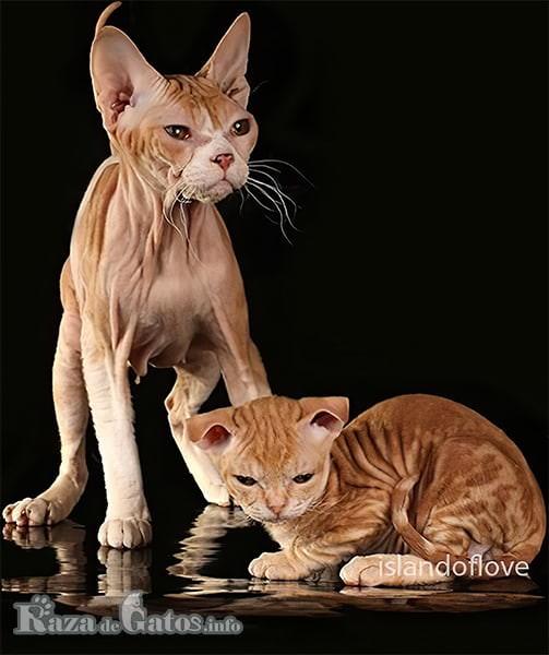 Imágen de 2 gatos levkoy ucranianos.