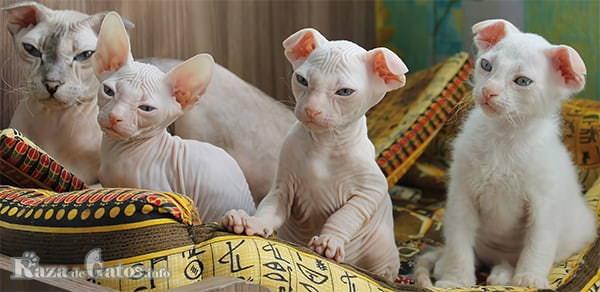 Foto de una gato levkoy ucraniana con sus crías.
