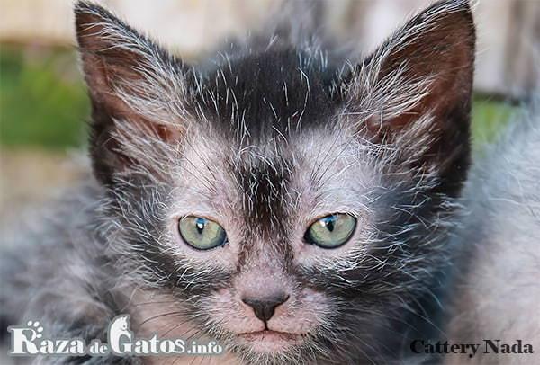 Foto de la carita del gatito lykoi. Raza de gatos raros y exóticos.