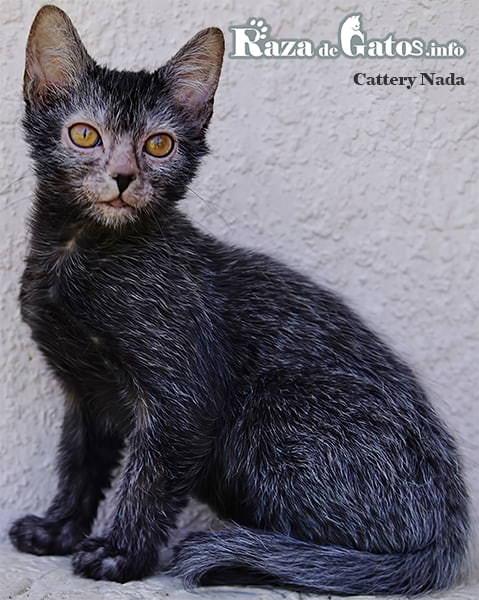 Foto del gato Lykoi (el gato lobo). Gatos exoticos y muy raros.