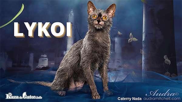 Foto - El gato Lykoi - Razas de gatos con apariencia salvaje