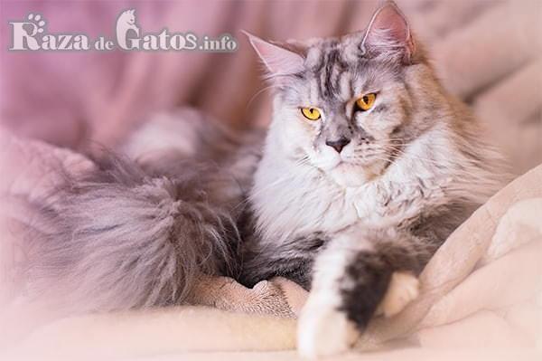 Imágen del gato gigante Maine Coon. Gatos más cariñosos del mundo.