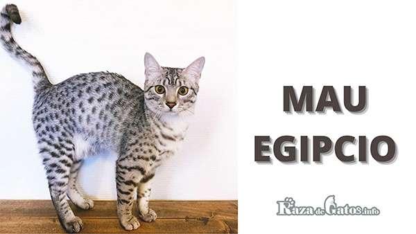 Foto - El gato Mau Egipcio - Razas de gatos con apariencia salvaje