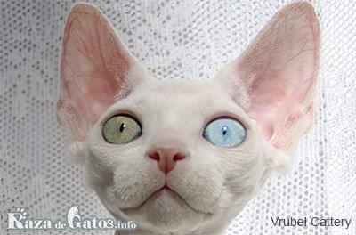 Fotografía del gato Minskin