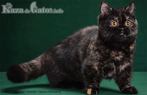 Foto de la Raza de gato Minuet. Los gatos mas pequeños del mundo