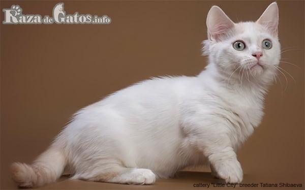 Foto de la Raza de gato Munchkin – De los gatitos mas pequeños del mundo.