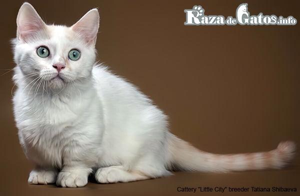 Imagen del gato Munchkin. Gatos enanos.
