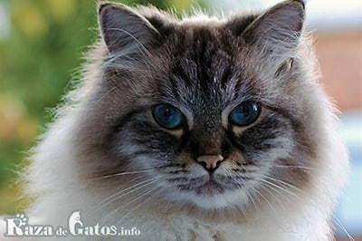 Foto del Gato Neva Masquerade.
