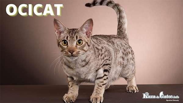 Foto - El gato Ocicat - Razas de gatos con apariencia salvaje