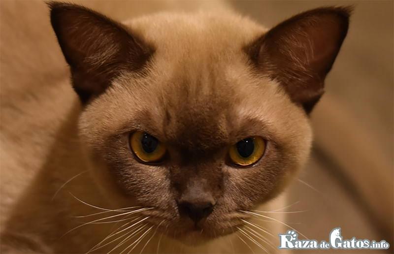 Fotografía del gatito Burmés, o (burmesse cat) en ingles.
