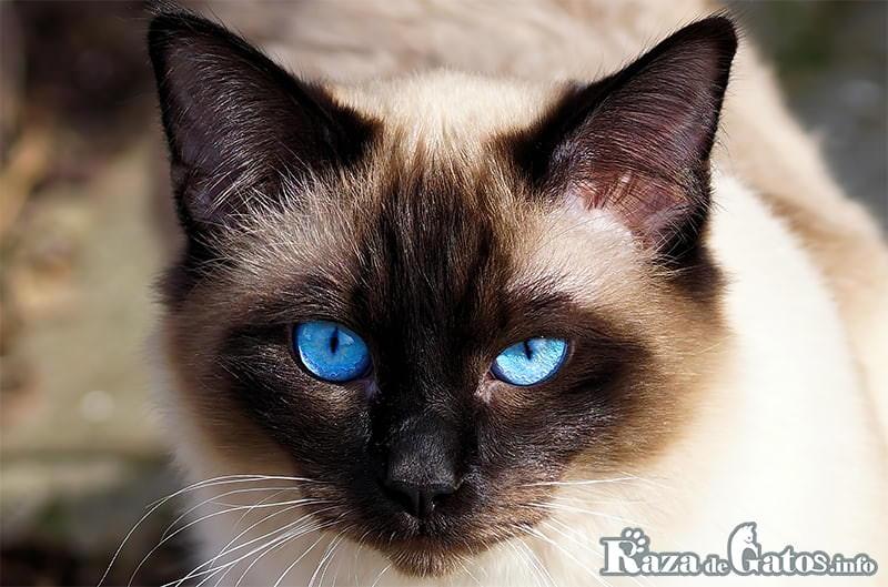 """Imágen del gato thai, también llamado """"siamés tradicional"""""""