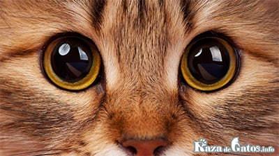 La vision en los gato. ¿cómo ven los gatos?