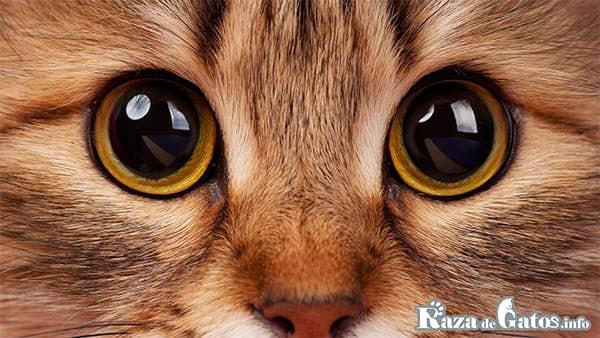 Fotografía de los ojos del gato. ¿Cómo ven los gatos?
